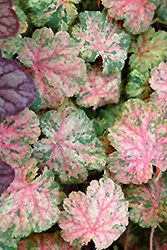 Snowfire Coral Bells (Heuchera sanguinea 'Snowfire') at Homestead Gardens
