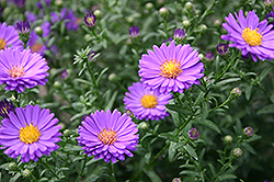 Days Aster (Aster 'Days') at Homestead Gardens