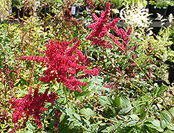 Glow Astilbe (Astilbe x arendsii 'Glow') at Homestead Gardens