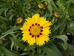 Domino Tickseed (Coreopsis 'Domino') at Homestead Gardens