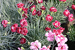 Rosish One Pinks (Dianthus 'Rosish One') at Homestead Gardens