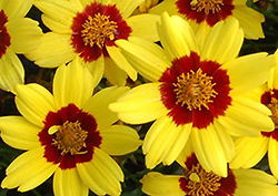 Gold Nugget Tickseed (Coreopsis 'Gold Nugget') at Homestead Gardens
