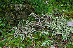 Japanese Painted Fern (Athyrium nipponicum 'Pictum') at Homestead Gardens