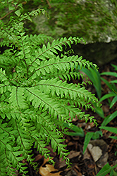 Northern Maidenhair Fern (Adiantum pedatum) at Homestead Gardens