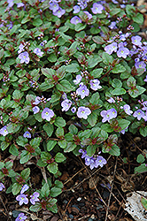 Waterperry Blue Speedwell (Veronica 'Waterperry Blue') at Homestead Gardens