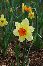 Fortissimo Daffodil (Narcissus 'Fortissimo') at Homestead Gardens