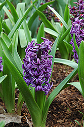 Atlantic Hyacinth (Hyacinthus orientalis 'Atlantic') at Homestead Gardens
