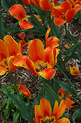Flair Tulip (Tulipa 'Flair') at Homestead Gardens