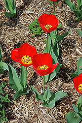Oxford Tulip (Tulipa 'Oxford') at Homestead Gardens