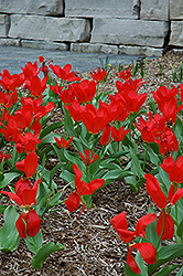 Red Emperor Tulip (Tulipa fosteriana 'Red Emperor') at Homestead Gardens
