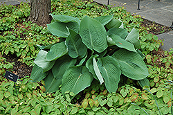 Blue Angel Hosta (Hosta 'Blue Angel') at Homestead Gardens