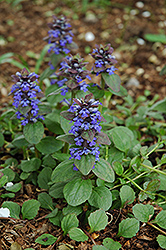 Caitlin's Giant Bugleweed (Ajuga reptans 'Caitlin's Giant') at Homestead Gardens