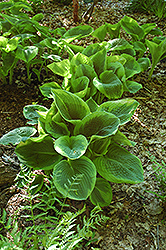 Frances Williams Hosta (Hosta 'Frances Williams') at Homestead Gardens