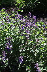 Dropmore Blue Catmint (Nepeta x faassenii 'Dropmore Blue') at Homestead Gardens