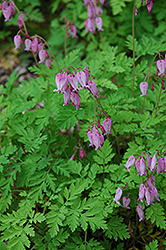 Bleeding Heart (Dicentra eximia) at Homestead Gardens