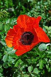 Allegro Poppy (Papaver orientale 'Allegro') at Homestead Gardens