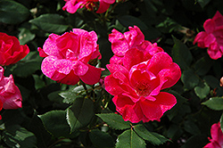 Knock Out® Rose (Rosa 'Radrazz') at Homestead Gardens