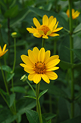 False Sunflower (Heliopsis helianthoides) at Homestead Gardens