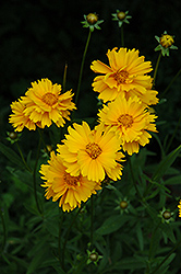Early Sunrise Tickseed (Coreopsis 'Early Sunrise') at Homestead Gardens