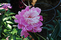 Nymphe Peony (Paeonia 'Nymphe') at Homestead Gardens