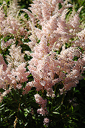 Europa Astilbe (Astilbe japonica 'Europa') at Homestead Gardens