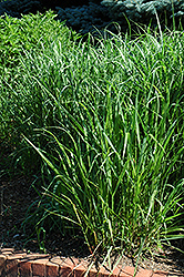 Switch Grass (Panicum virgatum) at Homestead Gardens