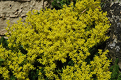 Golden Moss Stonecrop (Sedum acre) at Homestead Gardens