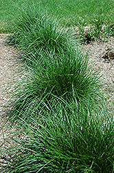 Tufted Hair Grass (Deschampsia cespitosa) at Homestead Gardens