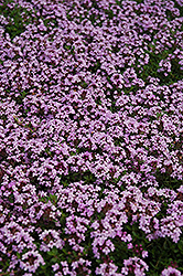 Red Creeping Thyme (Thymus praecox 'Coccineus') at Homestead Gardens