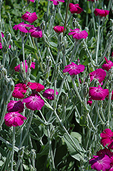 Rose Campion (Lychnis coronaria) at Homestead Gardens