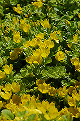 Creeping Jenny (Lysimachia nummularia) at Homestead Gardens