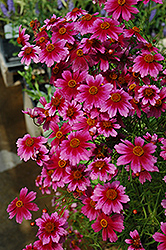Heaven's Gate Tickseed (Coreopsis rosea 'Heaven's Gate') at Homestead Gardens