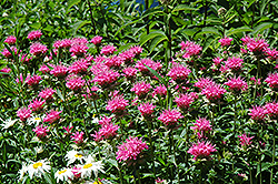 Marshall's Delight Beebalm (Monarda 'Marshall's Delight') at Homestead Gardens