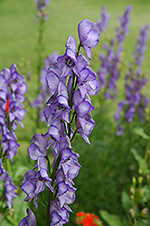 Common Monkshood (Aconitum napellus) at Homestead Gardens
