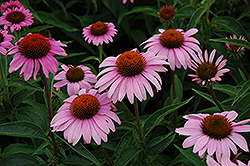 Bright Star™ Coneflower (Echinacea purpurea 'Leuchtstern') at Homestead Gardens