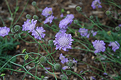 Butterfly Blue Pincushion Flower (Scabiosa 'Butterfly Blue') at Homestead Gardens