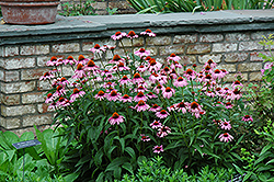 Magnus Coneflower (Echinacea purpurea 'Magnus') at Homestead Gardens