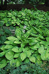 Gold Standard Hosta (Hosta 'Gold Standard') at Homestead Gardens