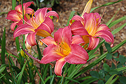 Cherry Cheeks Daylily (Hemerocallis 'Cherry Cheeks') at Homestead Gardens