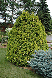 Sunkist Arborvitae (Thuja occidentalis 'Sunkist') at Homestead Gardens
