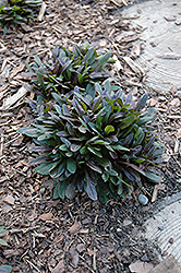 Chocolate Chip Bugleweed (Ajuga reptans 'Chocolate Chip') at Homestead Gardens