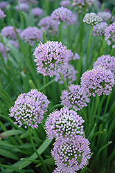 Lavender Globe Onion (Allium tanguticum) at Homestead Gardens