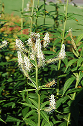 Culver's Root (Veronicastrum virginicum) at Homestead Gardens