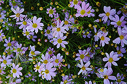 Pink Tickseed (Coreopsis rosea) at Homestead Gardens