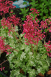 Snow Angel Coral Bells (Heuchera sanguinea 'Snow Angel') at Homestead Gardens