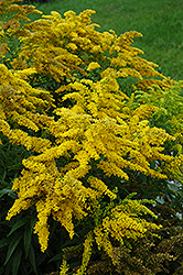Crown Of Rays Goldenrod (Solidago 'Crown Of Rays') at Homestead Gardens