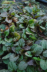 Bronze Beauty Bugleweed (Ajuga reptans 'Bronze Beauty') at Homestead Gardens