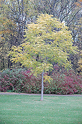 Kentucky Coffeetree (Gymnocladus dioicus) at Homestead Gardens