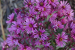 Woods Pink Aster (Aster 'Woods Pink') at Homestead Gardens
