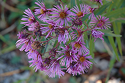 New England Aster (Aster novae-angliae) at Homestead Gardens